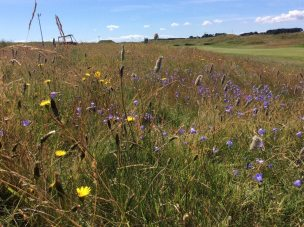 Carnoustie-Golf-Club-wildflowers-rough
